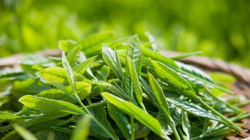 Cách trị mề đay tại nhà cho bé bằng lá trà xanh tươi
