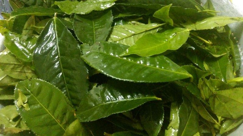 Nước lá chè xanh: Chống oxy hoá, ngăn ngừa nhiễm trùng